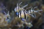 acquario_pesce_cardinale